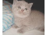 Британские котята лилового окраса